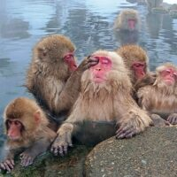 Japanese Macaque-Group-Grooming