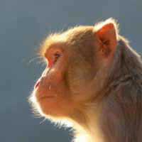 Backlit portrait of Rhesus macaque (Macaca mulatta) in Galta Temple in Jaipur, India. This temple is famous for large troop of monkeys who live here.