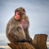 Japanese macaque on a trunk in Iwatayama monkey park, Kyoto, Japan