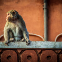 monkey in pink city destination in jaipur